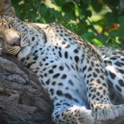 Moremi Camping safari leopard