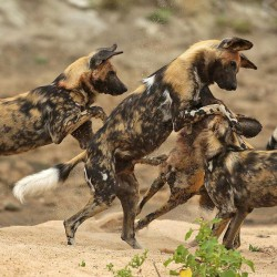 Sandibe Lodge wild dogs